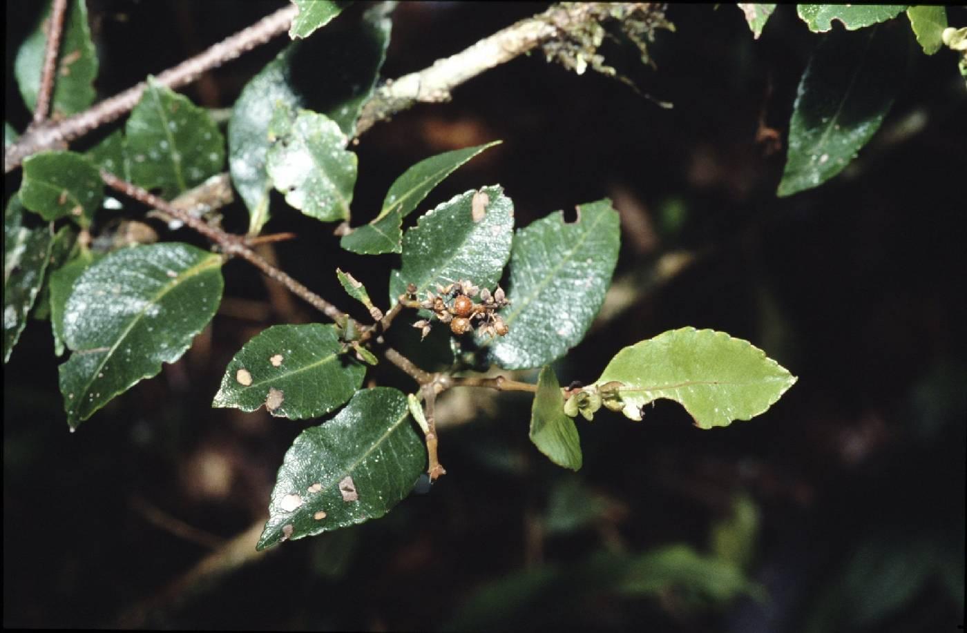 Weinmannia balbisiana image