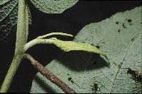 Image of Piper fimbriulatum