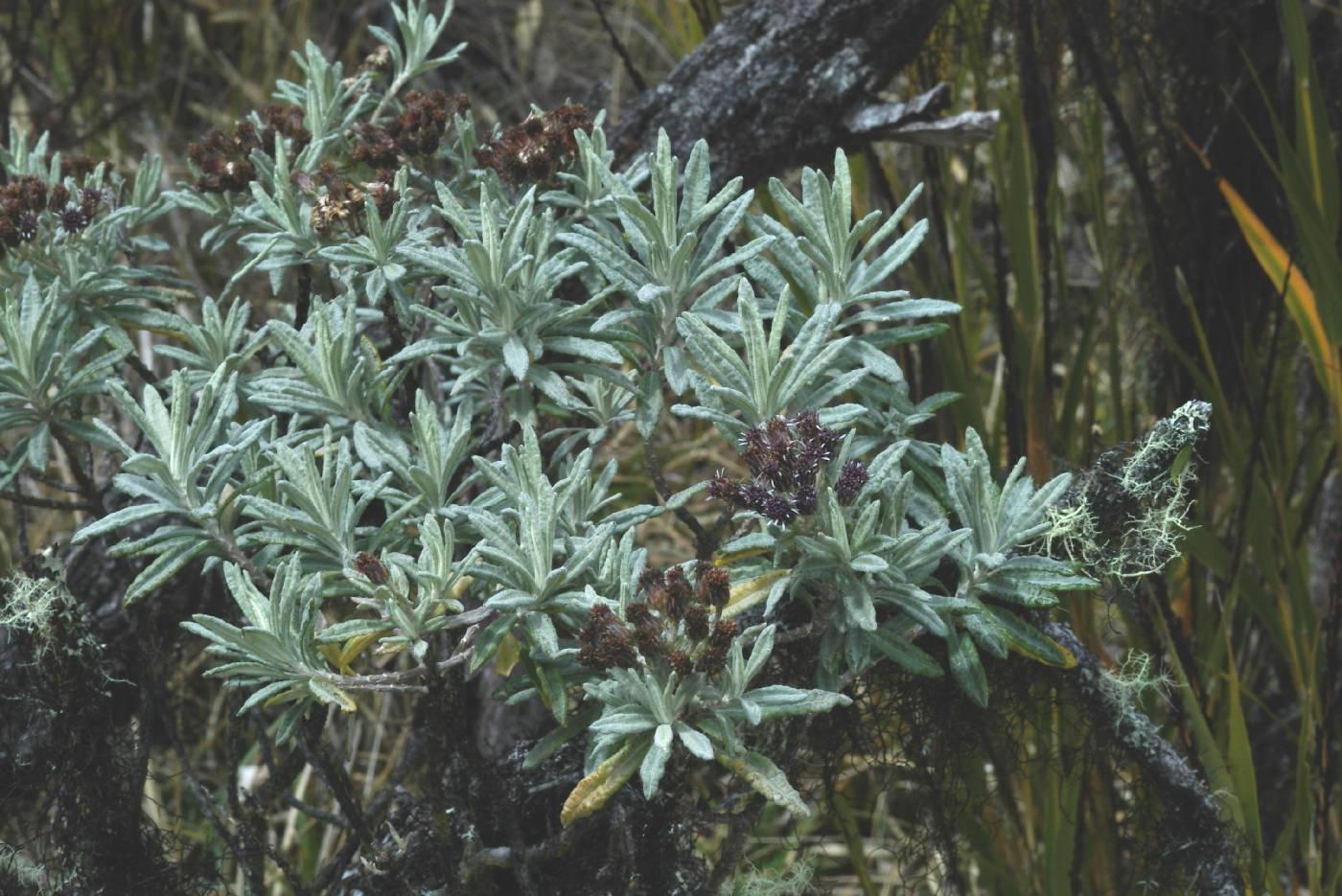 Diplostephium costaricense image