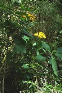 Jessea megaphylla image
