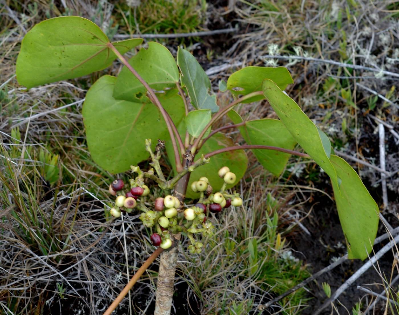 Oreopanax pycnocarpus image