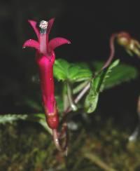 Centropogon costaricae image