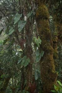 Anthurium concinnatum image