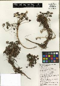 Geranium costaricense image