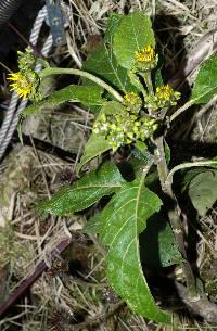 Verbesina baruensis image