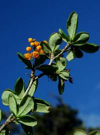 Berberis nigricans image