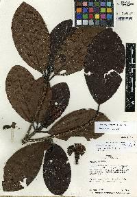 Agouticarpa williamsii image