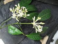 Image of Faramea parvibractea