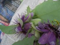 Passiflora chocoensis image