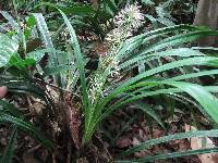 Image of Rhynchospora argentea