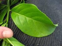 Tournefortia bicolor image