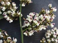 Machaerium floribundum image