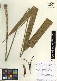 Sphaeradenia woodsonii image