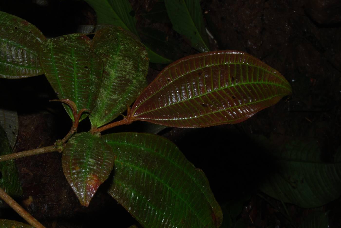 Clidemia densiflora image