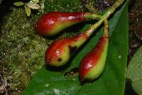 Chrysochlamys nicaraguensis image