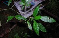 Tabernaemontana longipes image