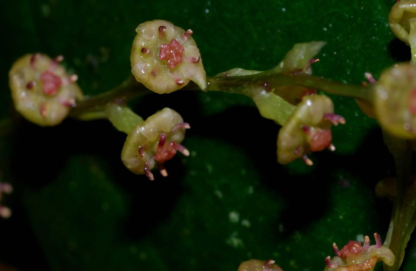 Dioscorea amazonum image