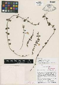 Neomortonia rosea image