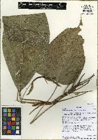 Anthurium cuspidatum image