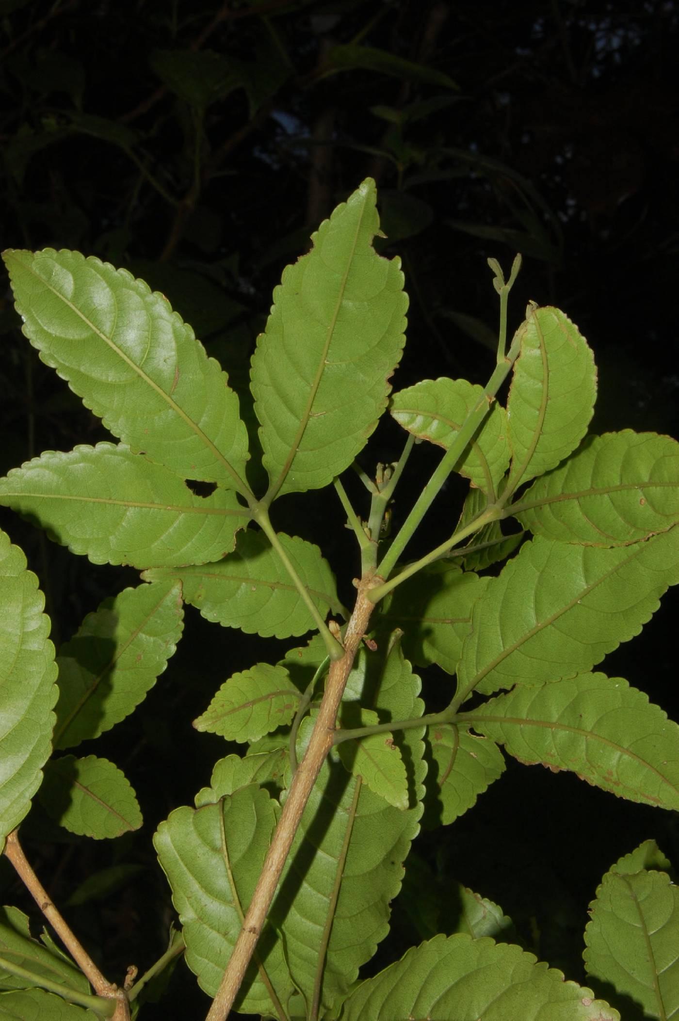 Anthodiscus chocoensis image