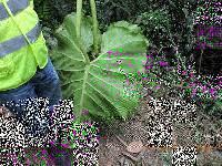 Philodendron llanense image