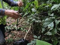 Anthurium coclense image