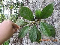 Cybianthus montanus image