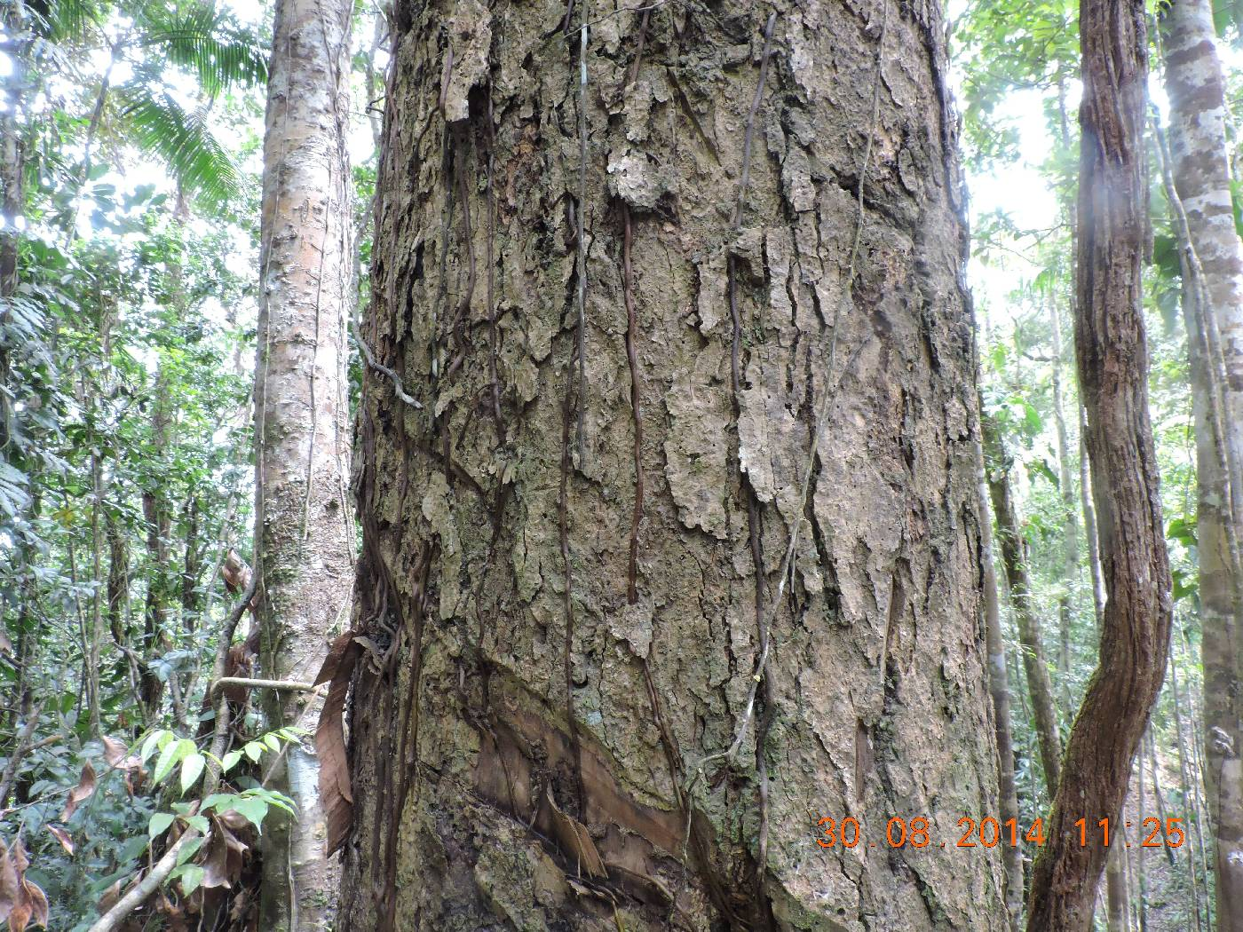 Magnolia poasana image