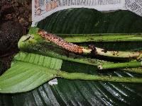 Rhodospatha moritziana image
