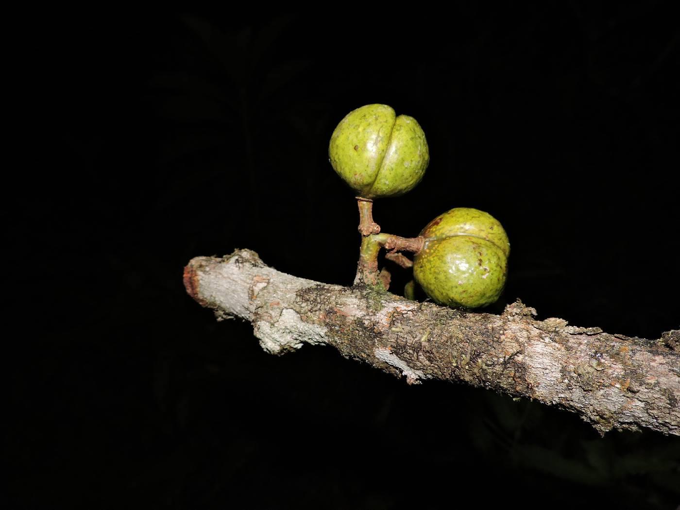 Iryanthera juruensis image