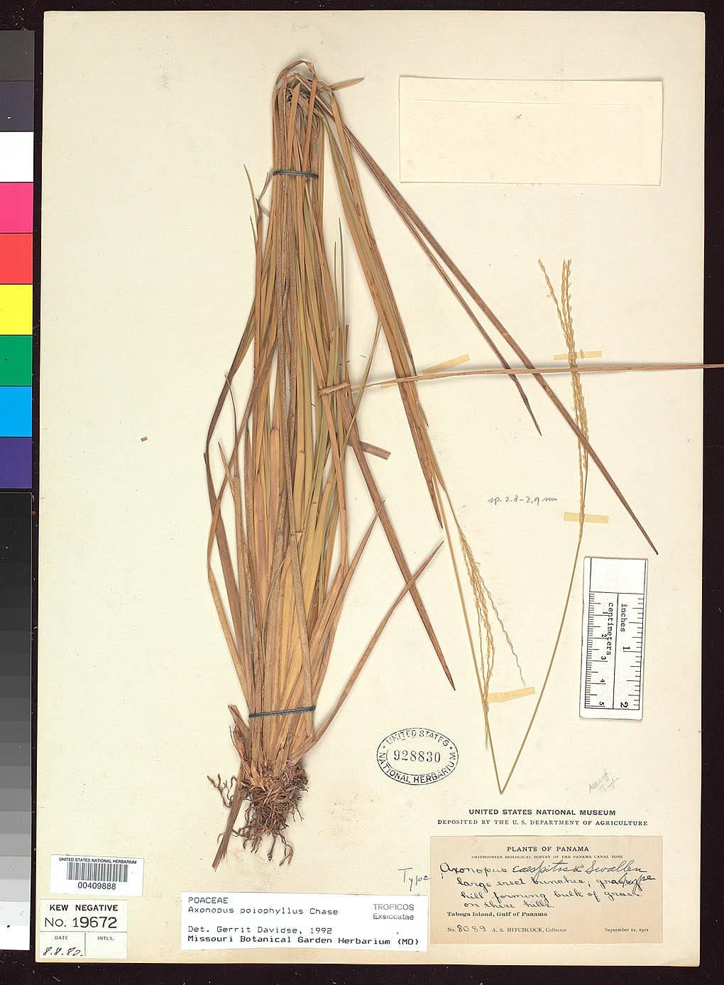 Axonopus poiophyllus image