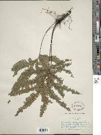 Adiantum pulverulentum image