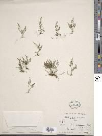 Image of Asplenium foeniculaceum