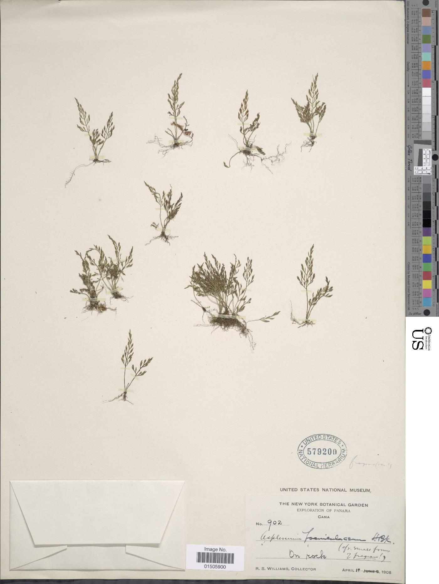 Asplenium foeniculaceum image