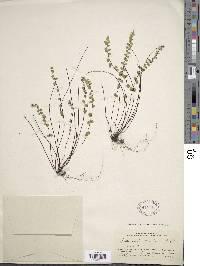 Asplenium castaneum image
