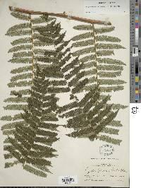 Alsophila firma image