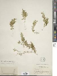 Image of Hymenophyllum elegantulum