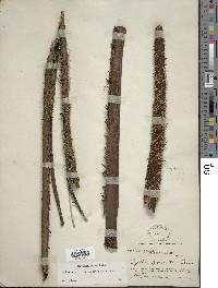 Alsophila erinacea image