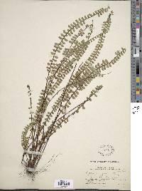 Asplenium polyphyllum image