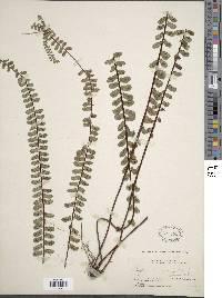 Image of Asplenium polyphyllum
