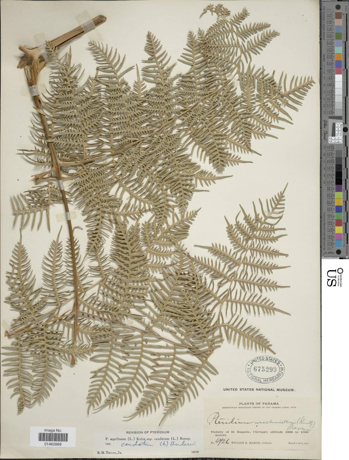 Pteridium caudatum image
