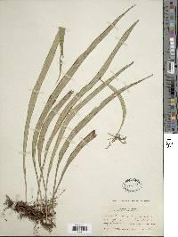 Ananthacorus angustifolius image