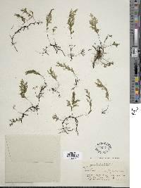 Polyphlebium pyxidiferum image