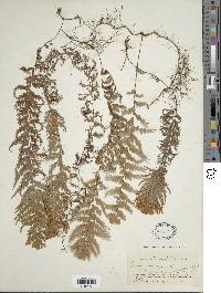 Image of Hymenophyllum plumosum