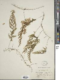 Image of Hymenophyllum polyanthos