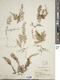 Image of Hymenophyllum undulatum