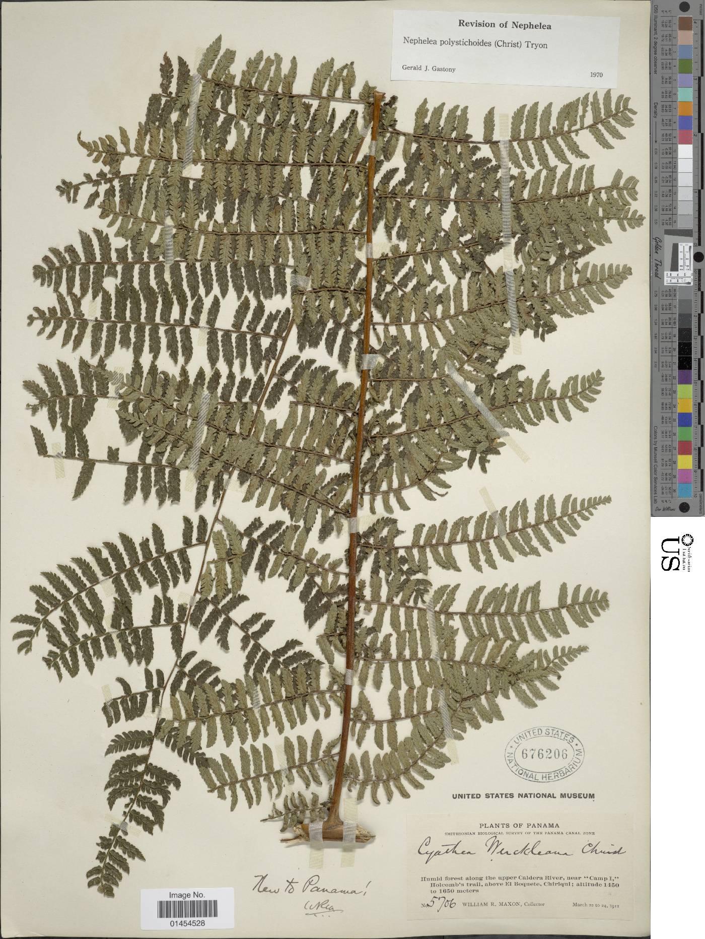 Alsophila polystichoides image