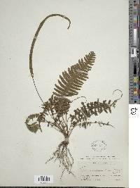 Image of Trichomanes diversifrons