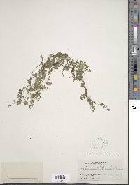 Asplenium holophlebium image