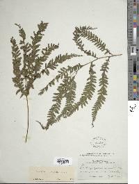 Image of Lindsaea arcuata